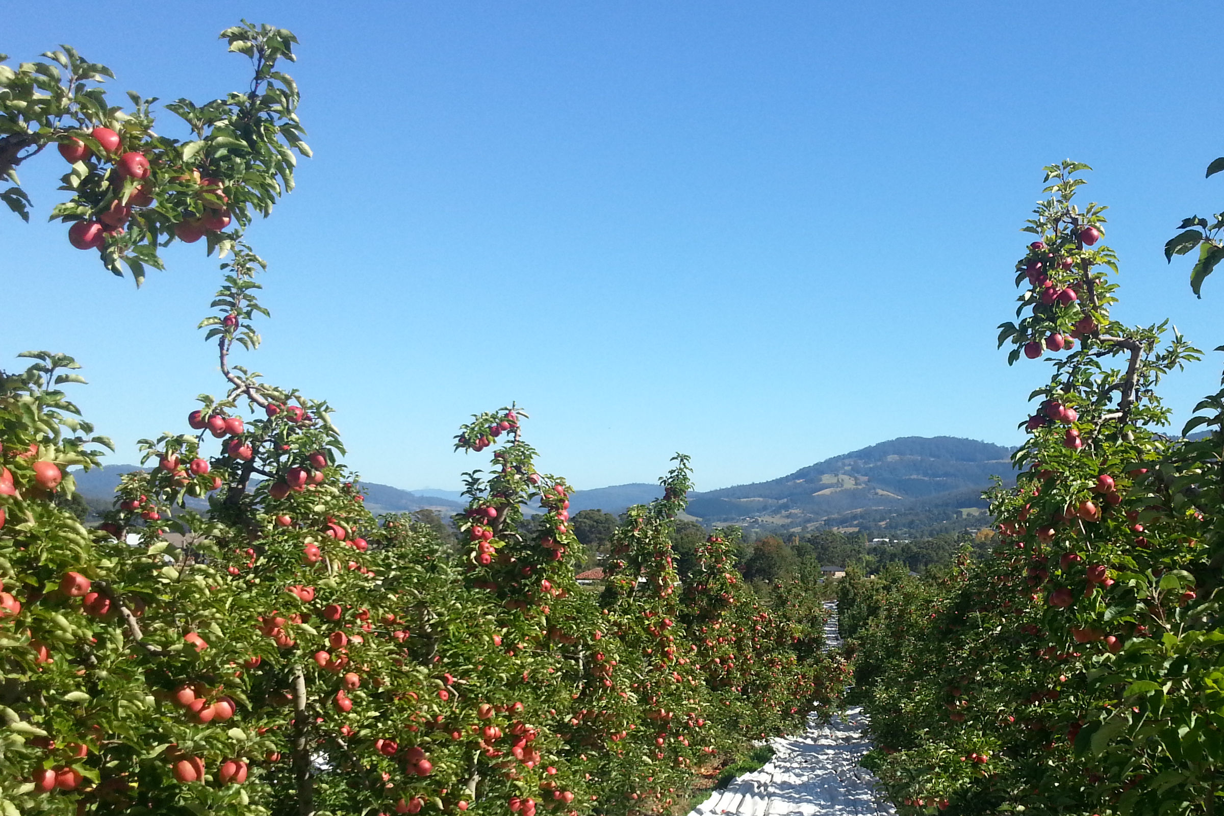 TAS apple orchard