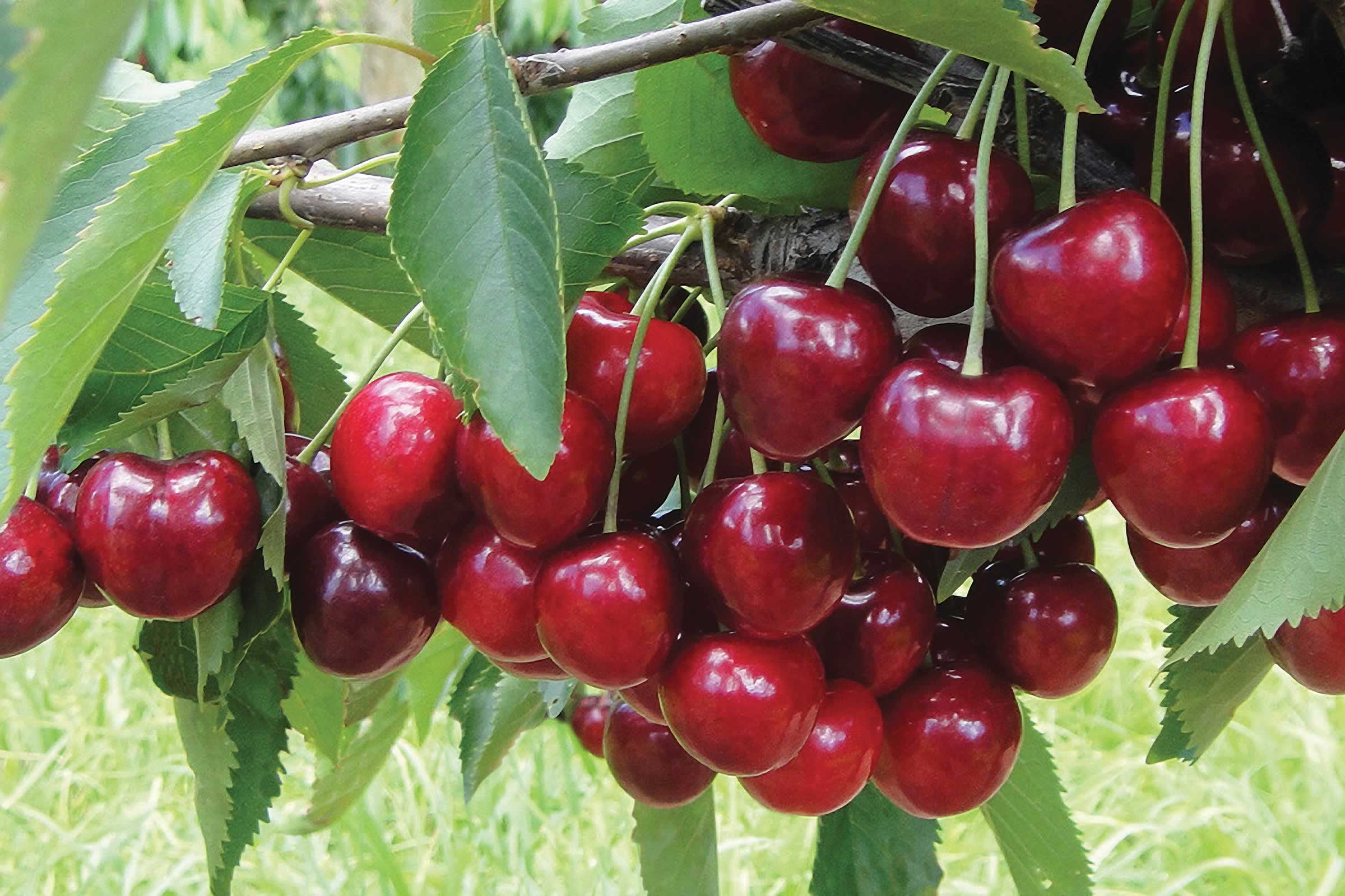 New cherries