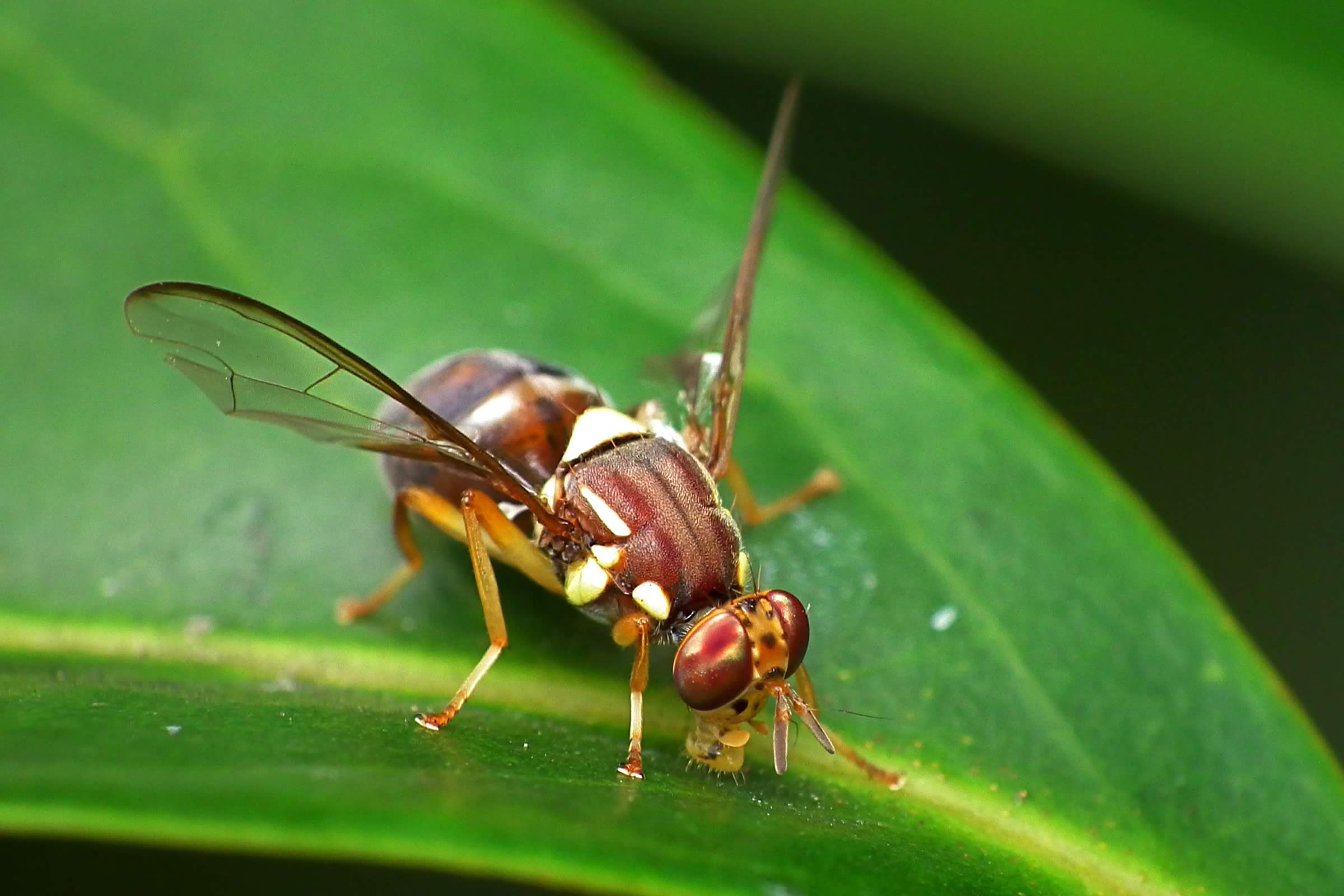 Queensland Fruit Fly – Bactrocera tryoni