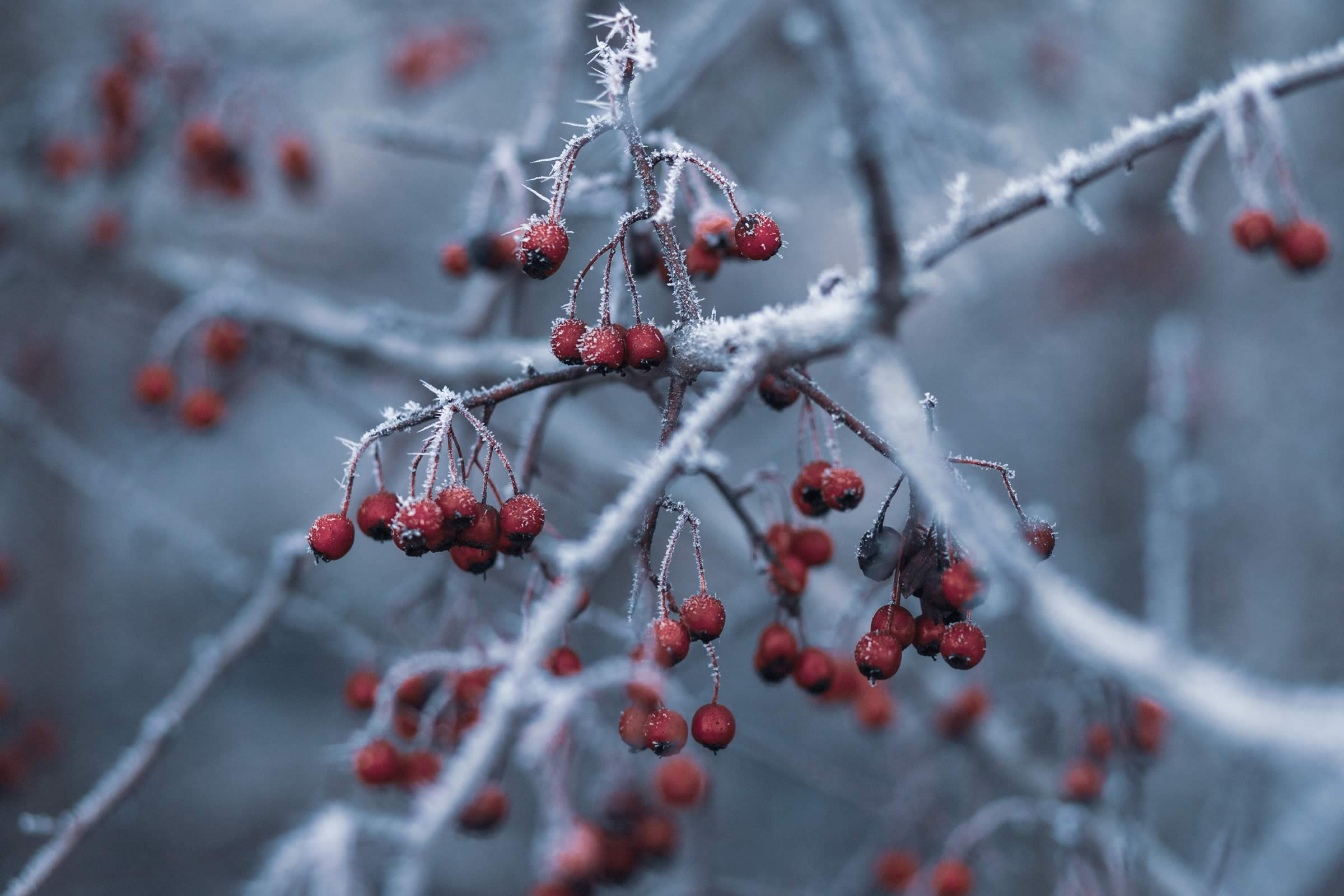 Red berries with ice