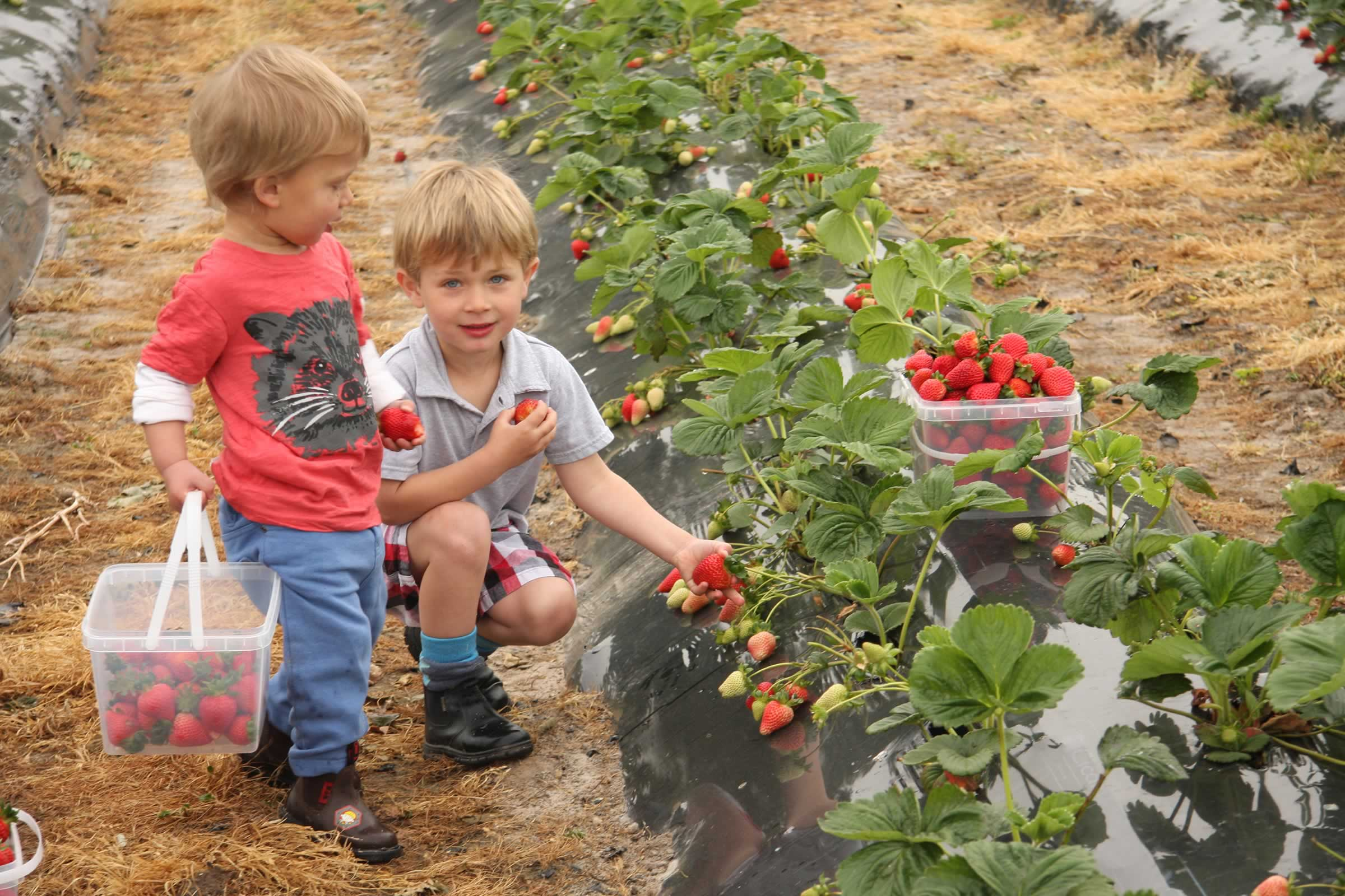 Picking strawberries, Hillwood Berry Farm