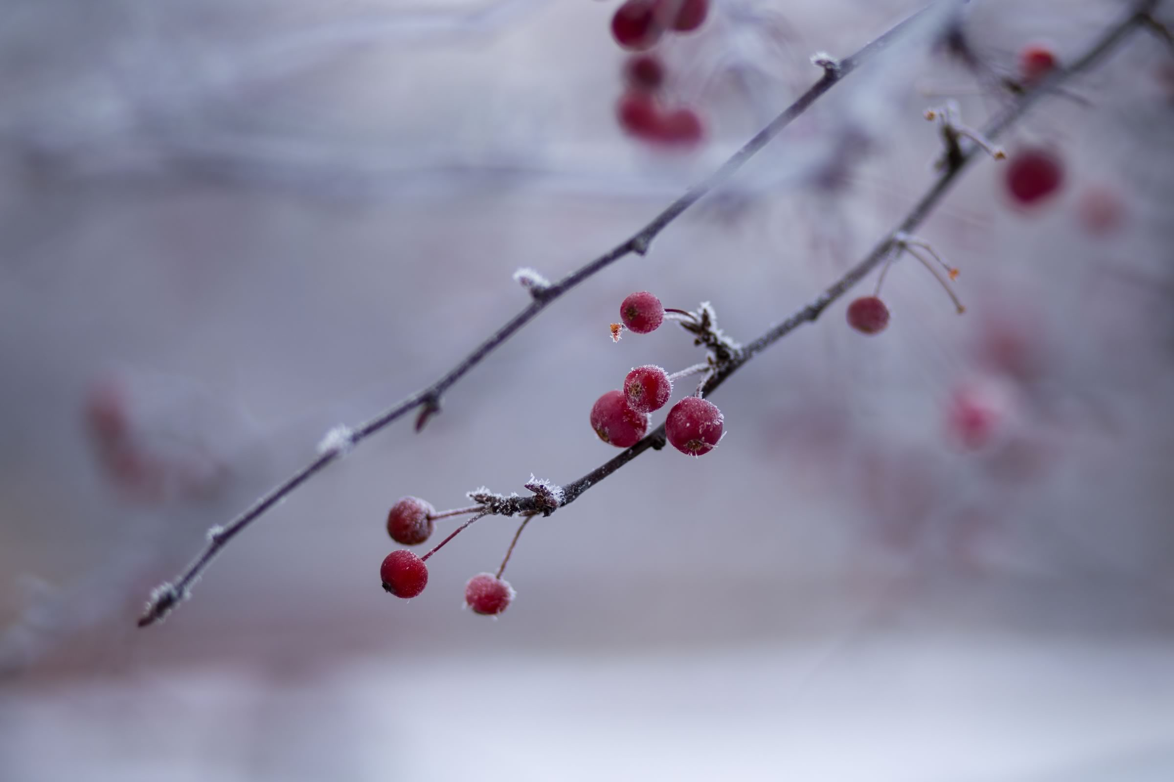 Winter holly berries